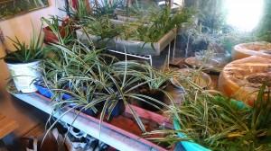 spiderplant babies