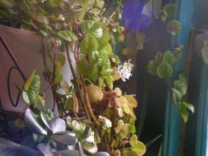swedish ivy blooming